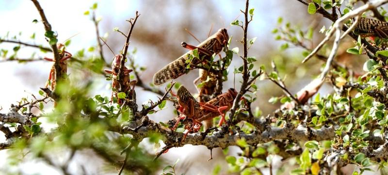 Fears of Desert Locust resurgence in Horn of Africa