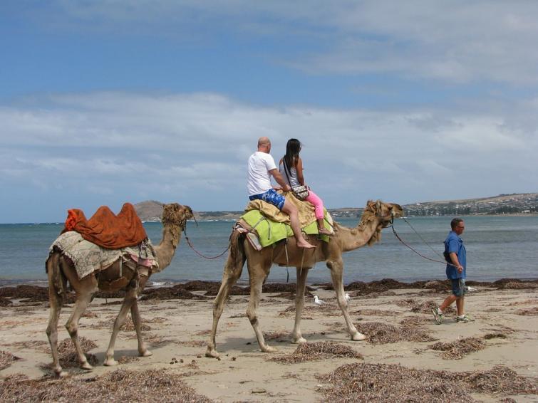 Amid wildfires, Australia likely to kill 10,000 camels