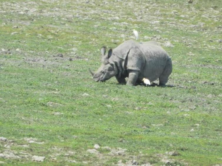 Assam: Stray out rhino from Kaziranga creates panic among villagers in Biswanath