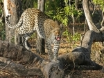 Leopard caged in Assam's Dibrugarh