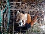 Rescued red panda released back into its natural habitat