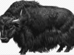 Bhutan announces alternative feed for yaks to address winter fodder scarcity