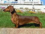 Dachshund rescued from meat market in China, new family adopts the pet