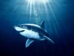 Maldives plans to legalise shark fishing