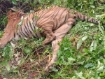 Accidental firing by forest guards kills Royal Bengal Tiger in Assam's Kaziranga