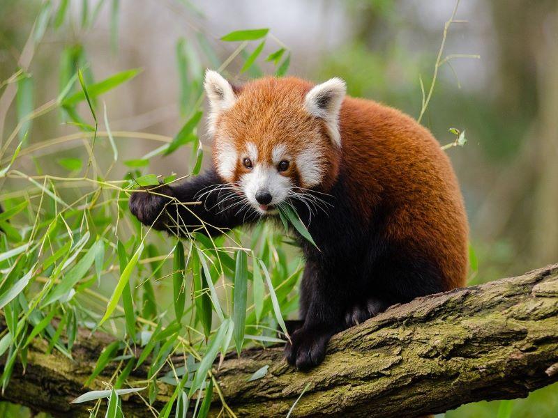 Bengal: Endangered red panda born in captivity at Darjeeling's Zoological Park