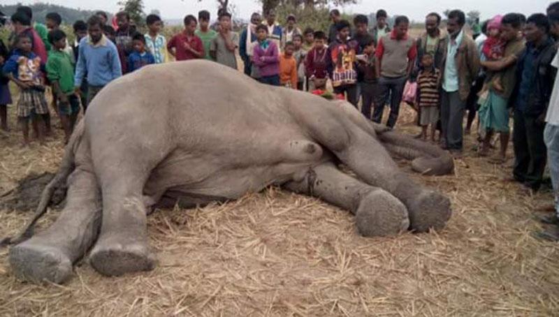 Assam: Old adult elephant dies at Manas National Park