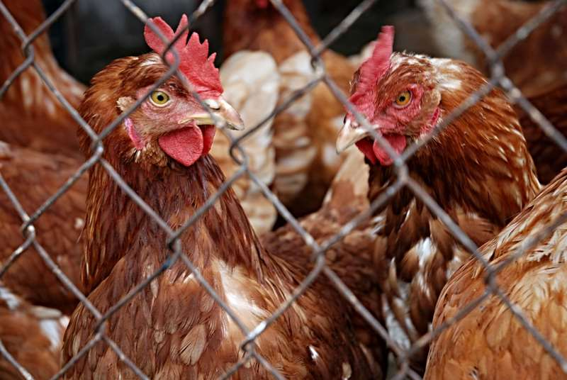 Bird Flu: FSSAI says well-cooked poultry safe to consume; issues guidelines for consumption