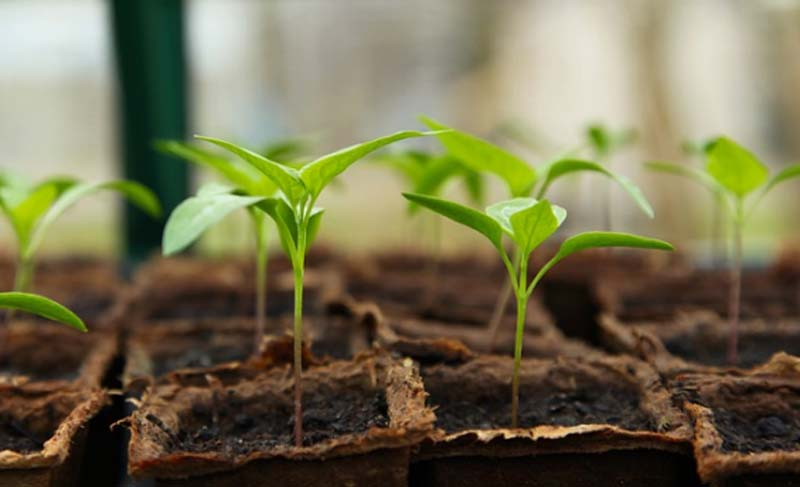 Jammu and Kashmir: Variety of vegetable seedlings available at Hi-Tech Polyhouse Shopian