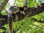 The clear and present danger to India's grizzled giant squirrel