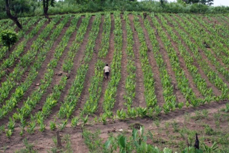 A field growing lakadong turmeric in West Jaintia Hills, Meghalaya. Photo from Department of Agriculture, Meghalaya.