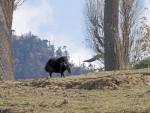 Climate change  threatens the yak economy in Arunachal Pradesh