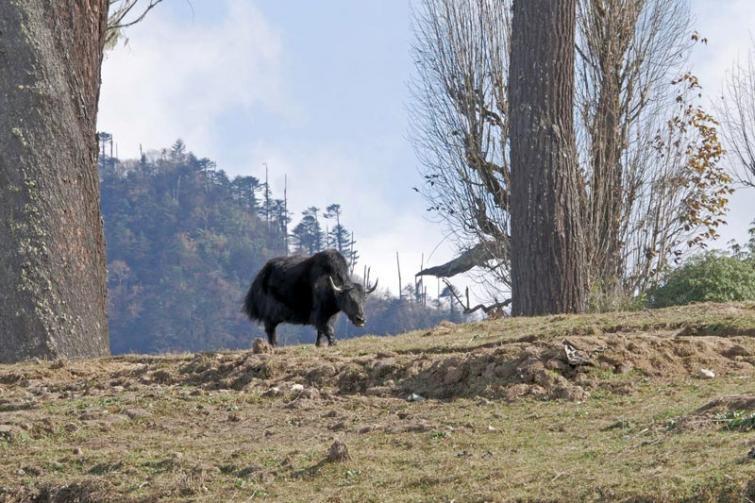 Climate change threatens the yak economy in Arunachal Pradesh