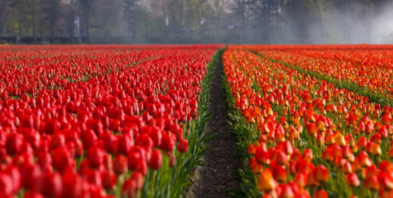 Jammu and Kashmir: 5-day Tulip festival to begin from April 3
