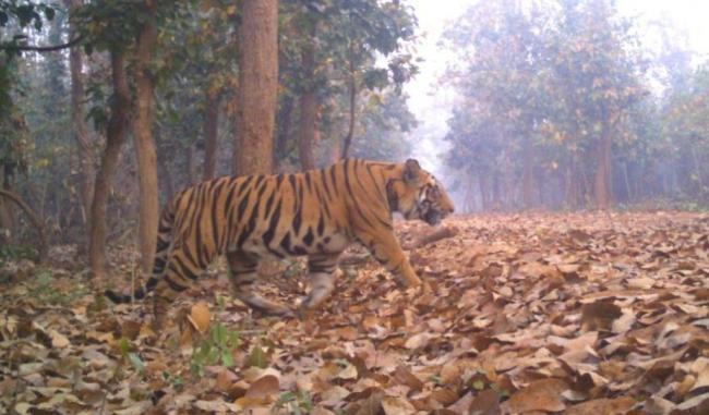 Seven poachers arrested with tiger bones, skins in Assam's Kaziranga