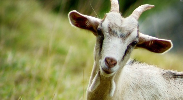 743af50db07 Pregnant goat dies after allegedly raped by 8 men in Haryana