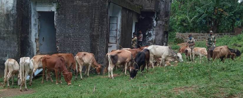 BSF foils major cattle smuggling attempts in Meghalaya, recover 43 cattle heads
