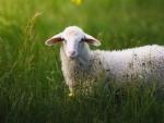 Jammu and Kashmir: Govt launches ISD scheme to boost establishment of sheep, goat units