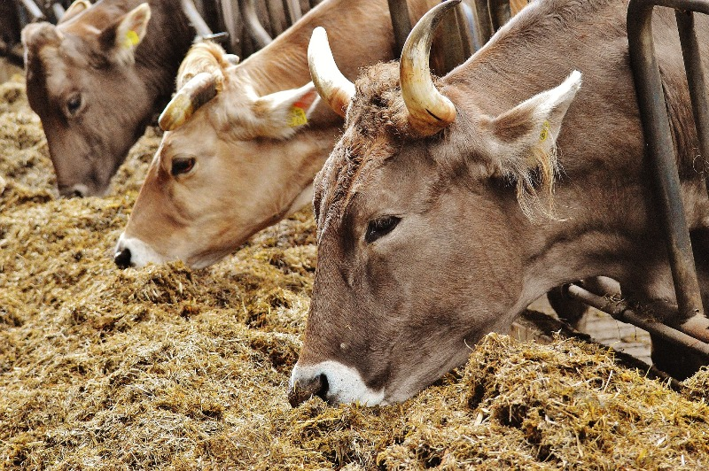 Cattle smuggling on rise along Indo-Bangladesh border, three smugglers held with 44 cattle heads