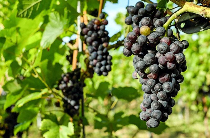 Kashmir shining: Better infrastructure under Rashtriya Krishi Vikas Yojana boosts grape production in Ganderbal