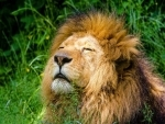 Covid19: Four lions at Tamil Nadu zoo test positive for Delta variant