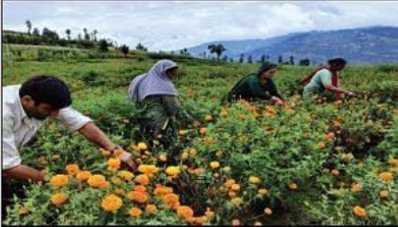 After Purple Revolution, farmers now reap benefits of marigold cultivation in Bhadarwah, Kashmir