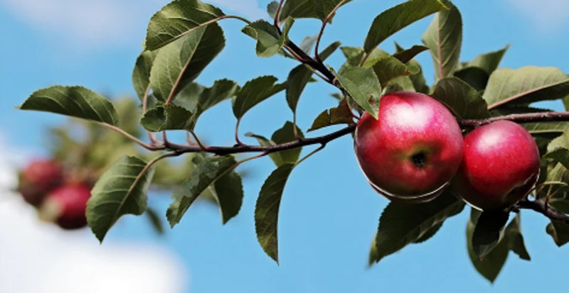 Jammu and Kashmir: Over 50 apple trees axed by unidentified persons in Kupwara