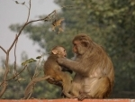 Winter in Delhi: Mother monkey looks after her baby with care