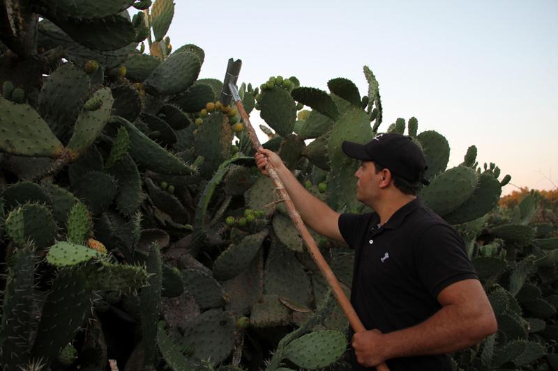 Palestinian farmer harvests prickly pears
