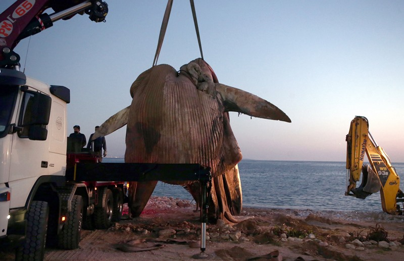 Crane removes an eight-meter-long dead whale in Athena Athens*