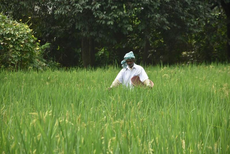 Farmer works on paddy field in Ranchi
