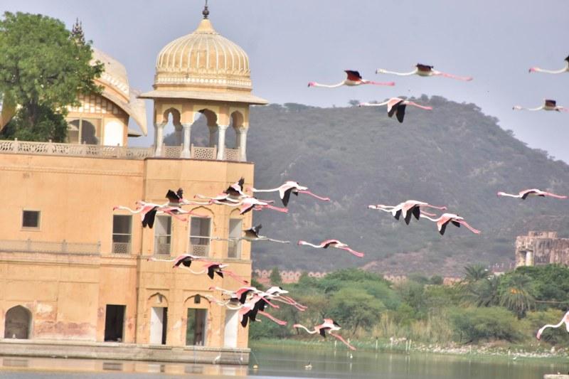 Flamingoes in Jaipur