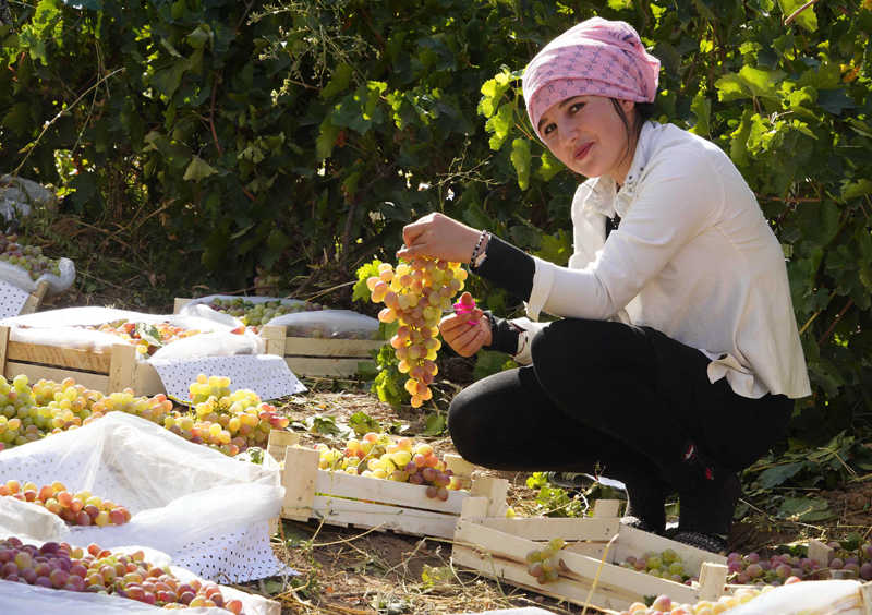 A farmer harvests grape at a vineyard in Uzbekistan