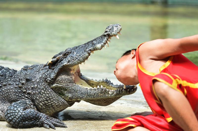 Man puts his head between gaping fangs of crocodile during show in Bangkok Zoo