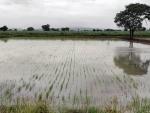 Belagavi: Rain water enters agriculture field