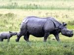 A calf of a one horned Rhino graze at Pobitora Wildlife sanctuary