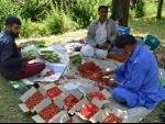 Kashmir: Freshly harvested cherries being sorted for export