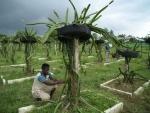 Farmers working at dragon fruit garden in Agaratala
