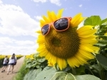 View of a sunflower with sunglasses at Davis Family Farm in Canada's Ontario