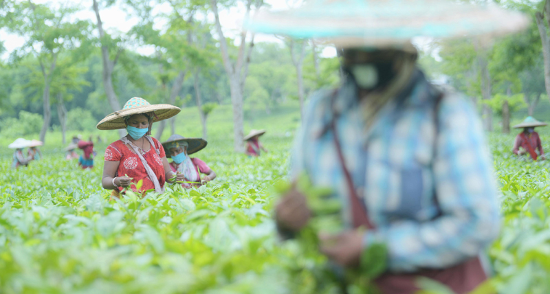 A view of workers at Agartala tea garden to observe International Tea Day