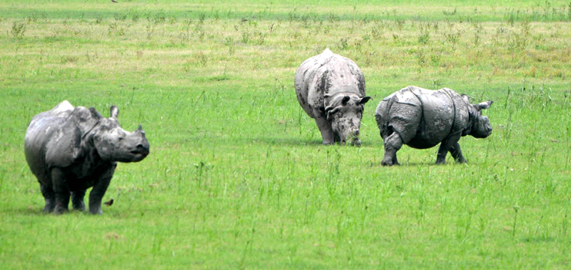 A glimpse of Rhinos grazing in Assam's Pobitra wildlife sanctuary