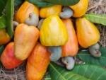 Goa Tourism to promote Coconut & Cashew Festival