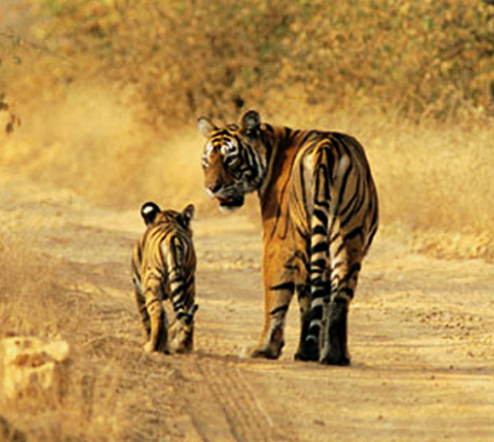 Ranthambore: Full-day safari a reality