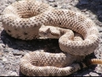 USA: Florida man bitten on tongue while trying to kiss a rattlesnake