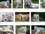 Japan: Zookeeper mauled to death by rare white tiger
