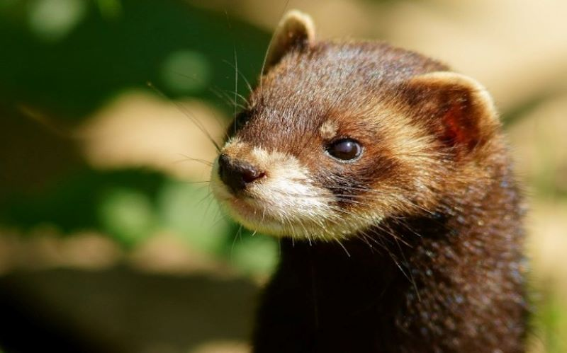 Spain orders culling of over 92,000 farmed mink after animals test positive for coronavirus
