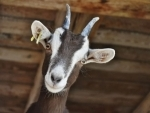 Five booked in Pakistan for 'sexually assaulting' goat